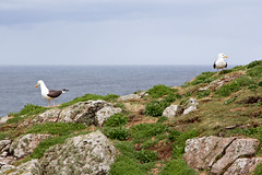 Isle Of May - Image 10 (www.bazpics.com) Tags: lighthouse bird nature landscape island scotland gull may reserve scottish puffin beacon isle sanctuary guillemot barryoneilphotography