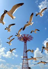 DSC_0225A (Quiet Storm!) Tags: nyc seagulls newyork brooklyn coneyisland niokond4