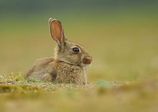 Juvenile wild rabbit