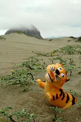 Tiger Beach Party (John 3000) Tags: california ca cats beach nature animals rock toys sand stripes dunes tiger natureza dune playa gatos arena animales morrobay tigre juguetes shoal