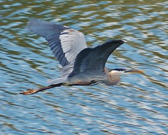rock cut (chumlee10) Tags: blue heron flying illinois sony il rockford a300 rockcut rockcutstatepark mygearandme