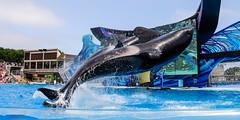 Imminent (lolilujah) Tags: world ocean show california ca sea train swimming one aquarium jump jumping stadium sd soak orca splash captive seaworld shamu trainer zone captivity splashing cetacean trained blackfish ulises