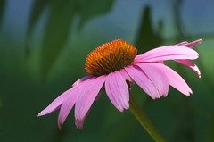 I'm Here! (vtpeacenik) Tags: flower vermont echinacea july coneflower magnus