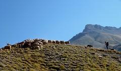 le berger (3) (b.four) Tags: mountain sheep shepherd montagna mouton larche berger pastore alpesdehauteprovence pecora hauteubaye rubyphotographer mygearandme mygearandmepremium mygearandmebronze mygearandmesilver mygearandmegold mygearandmeplatinum ruby10