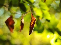 almost falling (candlelight_killer) Tags: autumn sun nature beautiful leaves sunshine backlight forest sunrise leaf dof bokeh natur illuminated autumnleaves depthoffield blatt wald bltter jever forst schortens bokehlicious upjever flickrandroidapp:filter=none upjeverscherforst rahrdum