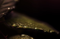 Rose Leaf III (majestiele.co.uk) Tags: macro leaves rain rose closeup canon droplets leaf drop 100mm dew raindrops 5dmarkiii 100l28
