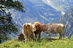 (prendography) Tags: summer switzerland europe bulls 2013