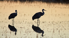 131111Bosque5034w (GeoJuice) Tags: usa newmexico geography bosquedelapache sandhillcranes earthe geojuice