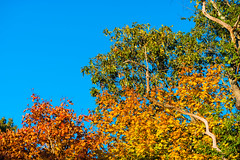 Golden Leaves of Fall (Digital World of Paul) Tags: autumn trees sky ny newyork art fall nature leaves photography li nikon fallcolors longisland 70200 liny originalphotography nikon70200f28vrii retinaresolution artistsontumblr d800e nikond800e lensblr photographersontumblr