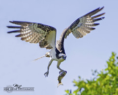 Osprey with Fish_7507 (mikeyasp) Tags: fish inflight fishing raptor wetlands everglades ospreys