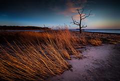 Skeleton Tree (jellyfire) Tags: england sky beach water sunrise canon reeds landscape skeleton dawn suffolk day unitedkingdom deadtree lonetree eastanglia goldenlight greatbritian benacre covehithe 1740mmf4lusm canon5dmkii pwpartlycloudy