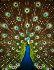 Portrait of beautiful peacock (anekphoto) Tags: blue color male green bird nature beautiful beauty animal horizontal closeup neck colorful day pattern dancing bright pheasant head turquoise vibrant background wildlife tail beak feathers ceremony peacock pride exhibition tropical ritual majestic showing multi elegance plumage cockerel vitality descriptive