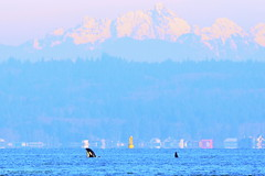 Admiring the View (Hysazu) Tags: dolphins pacificnorthwest pugetsound whales orca washingtonstate killerwhale orcinusorca cetaceans salishsea wildwhales southernresidentkillerwhale srkw nikond7000 nikon80400afs