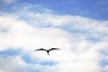 "_DSC6069  ""Female Magnificent Frigatebird"" (ChanHawkins) Tags: am galapagos april magnificent tagus cove"" ""female 12"" frigatebird"" ""isabellacaleta ""fri"