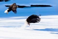 IMG_3665 (judd.furlong) Tags: iowacity canoneos eagles