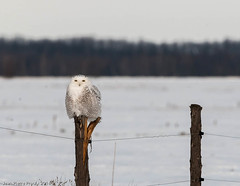 Harfang des neiges / Snowy Owl. (proxy46) Tags: oiseaux 2014 harfangdesneiges allnaturesparadise 300mm17