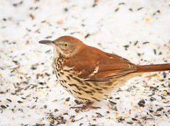 Brown Thrasher! (Rick Smotherman) Tags: morning winter snow stpeters nature birds canon garden morninglight backyard feeding cloudy wildlife january overcast 7d cloudysky songbirds canon300mmf4l canon7d
