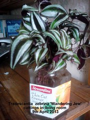 Tradescantia  zebrina 'Wandering Jew' cuttings in living room 09-04-2013 (Davy1000) Tags: tradescantia zebrina 2013