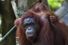 Orang Utan Delima mit Baby Selina, Semenggoh Wildlife Centre, Sarawak, Borneo / Malaysia (anschieber | niadahoam.de) Tags: borneo 2012 orangutans borneanorangutan menschenaffen 201203 sarawakmalaysia borneoorangutanpongopygmaeus semenggohorangutanrehabilitationszentrum orangutanssemenggoh