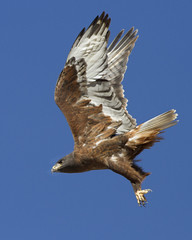 Ferruginous Hawk (Eric Gofreed) Tags: arizona hawk ferruginoushawk chinovalley yavapaicounty
