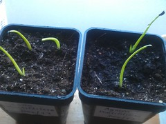Agaven Multifilifera (Kanonenschlag) Tags: sommer sonne fensterbrett zimmerpflanze palmen sukkulente smlinge anzucht agaven quarzsand multifilifera spargelgewchs kakteenerde