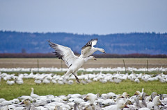 on the top2 (SusanCK) Tags: geese snowgeese skagitvalleywashington susancksphoto