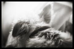 (christilou1) Tags: b dog colour macro jack fuji russell w jr 60mm xe1 efex