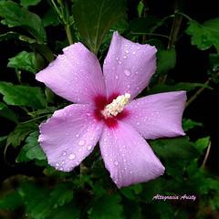 Hibisco/Hibiscus (Altagracia Aristy Sánchez) Tags: américa dominicanrepublic hibiscus hibisco tropic caribbean antilles laromana cayena caribe repúblicadominicana caraïbe trópico antillas altagraciaaristy fujifilmfinepixhs10 fujihs10 fujifinepixhs10