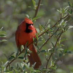 cardinal (altan o) Tags: bird cardinal