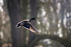Backlit Mallard (djshoo) Tags: sunlight bird rural woodland golden duck glow lincolnshire mallard 2014