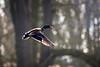 Backlit Mallard (djshoo) Tags: sunlight bird rural woodland golden duck glow lincolnshire mallard 2014