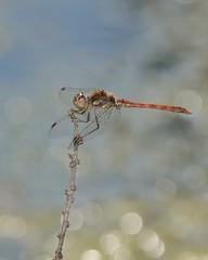 Groe Heidelibelle (Sympetrum striolatum) 2682 (fotoflick65) Tags: bug linz insect iso100 dragonfly flash libelle insekt f11 garten grose leopold odonata bof botanischer fl300 heidelibelle sympetrum 300mmf4d striolatum segellibelle d7000 groslibelle kepplinger st320 fl250300 st200400 fotoflick65 ni300