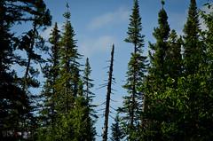 Dead tree (WhiteFlowersFade) Tags: voyage travel trees sky canada forest newfoundland landscape nikon labrador north bluesky roadtrip ciel arbres wilderness paysage nord cielbleu tnl terreneuve forts d7k d7000