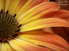 Daisy (Terezaki ✈) Tags: flowers orange flower macro art nature colors yellow closeup photography photo petals spring searchthebest details hellas athens greece daisy raindrop pictureperfect 2014 naturesfinest flowerscape ncg fiora 100faves 150favs 50faves 100favs 150faves 180favs άνοιξη anawesomeshot flickrdiamond theperfectphotographer
