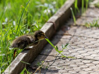 Duckling on the run....