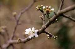 PRUNELLIER  ' EXPLORE ' (Marie-Laure Larère) Tags: fleur prunellier explore bourgeon dof bokeh profondeurdechamp