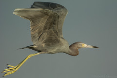 Gear up {Explored} (ChicagoBob46) Tags: littleblueheron blueheron heron bird florida bunchebeach nature wildlife explore explored ngc npc