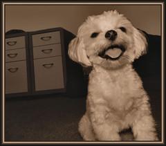 Bella 2012 Aug 4 (marilyntunaitis) Tags: dog pet bella funny