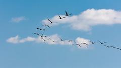 hula_lake-05 (emanuel haddad) Tags: bashir hulalake jerry majdi bird migrating