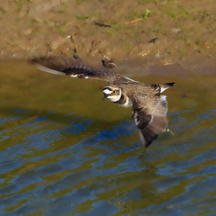 Little Ring Plover (Charadrius dubius) (microwyred) Tags: birds wildlife places little ring plover in flight shore animals