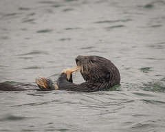 Sea Otter enjoying a clam (Becky Matsubara) Tags: elkhornslough mosslanding seaotter enhydralutris nature wild wildlife otter marinemammal california harbor clam