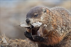Busy Groundhog (Daniel Cadieux) Tags: groundhog woodchuck mammal ontario ottawa leaves gatheringleaves nestingmaterial spring hands paws fur