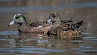 A pair of American Wigeon (drake and hen) feed amongst several other species of ducks at Muscatatuck NWR, Indiana.