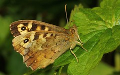 Speckled Wood 080417 (2) (Richard Collier - Wildlife and Travel Photography) Tags: wildlife naturalhistory insects butterflies british macro closeup speckledwood naturethroughthelens