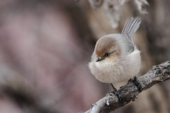 Bushtit,  Psaltriparus minimus (jlcummins - Washington State) Tags: bird oakcreekwildlifearea yakimacounty washingtonstate fauna psaltriparusminimus nature wildlife eiap alittlebeauty sunshinegroup coth brilliantnature specanimal coth5