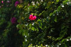 Bougainvillea (Oleksandr Reva) Tags: 2012 agkisaras bougainvillea crete greece hersonissos mediterraneansea sea summer flowers