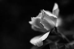 A single petal (Thelma Gatuzzo) Tags: rosas puertomadero rosa roseiral flowers nature roses garden 2014 jardim buenosaires parque flores natureza thelmagatuzzophotography© park rose flower bw blackandwhite monochrome dof bokeh