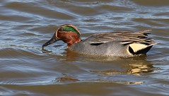 Teal 250317 (2) (Richard Collier - Wildlife and Travel Photography) Tags: wildlife naturalhistory birds british duck teal