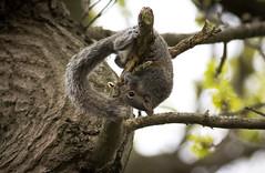 Hangin' Around ... just for the fun of it ;-) (Andy & Helen :-) :)) Tags: squirrel fun acrobatics staffordshire helenholt sciuruscarolinensis greysquirrelsoriginallyfromnorthamericawerereleasedintheukby19thcenturylandowners grey canon eos60d