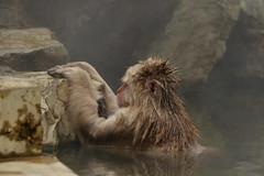 Nagano - Jigokudani - 06 (coopertje) Tags: japan nagano snowmonkey monkey jigokudanimonkeypark jigokudanijaenkoen sneeuw snow sneeuwmakaak macaque japanesemacaque cold onsen hottub hotspring water